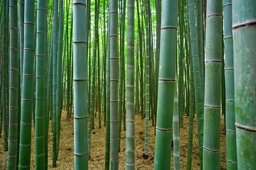 Yaponiya-bambukovyi-les-sagano