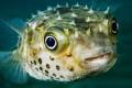 Япония. Смертельно вкусная рыба фугу