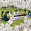 Поездка в Японию в период цветения сакуры