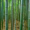 Япония. Бамбуковый лес Сагано